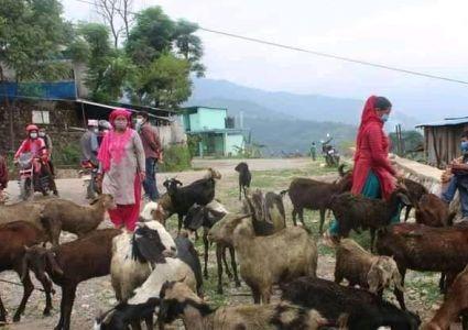 बाख्रा खरिदमा झारा टार्ने काम, किसानहरुको बिरोध, फिर्ता पठाइयो रुकुम…